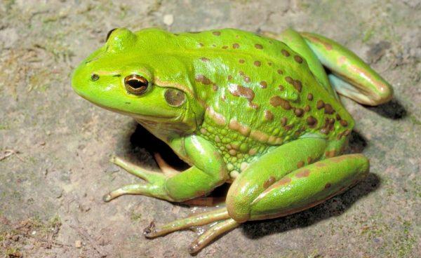 Nằm mơ thấy ếch đánh đề con gì chắc ăn nhất?