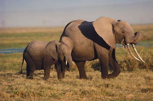Nằm mơ thấy con voi báo hiệu điều gì, đánh con gì chắc ăn nhất