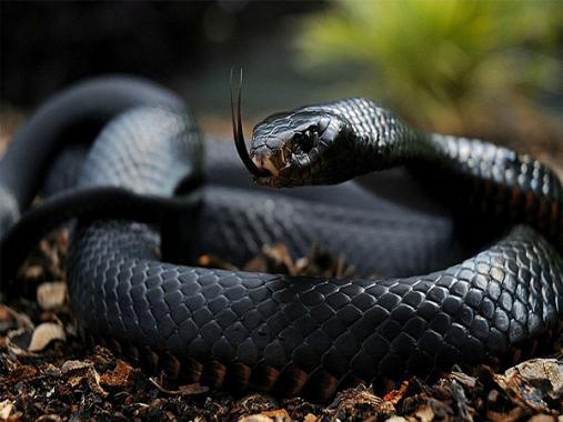 Mơ thấy rắn đen là điềm gì, đánh con gì chắc ăn nhất?