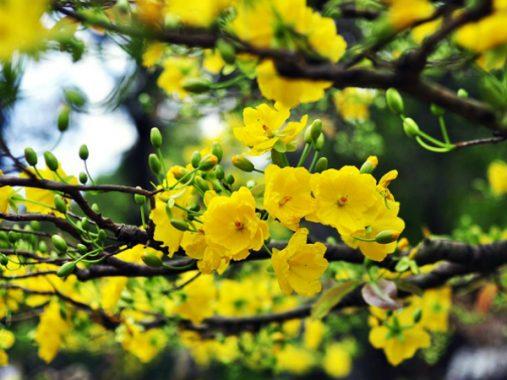 Mộng mơ thấy hoa mai mang đến con số bí ẩn nào may mắn
