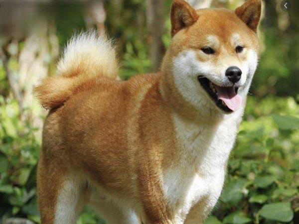 Nằm mơ thấy chó vàng có điềm báo gì, đánh con gì ăn chắc