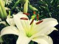 Mơ thấy hoa ly đánh con gì? Giải mã điềm báo giấc mơ